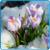 крокусы календарь садовода ава