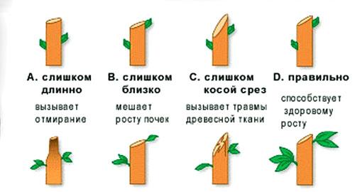Pravilnaya-i-nepravilnaya-obrezka-yabloni